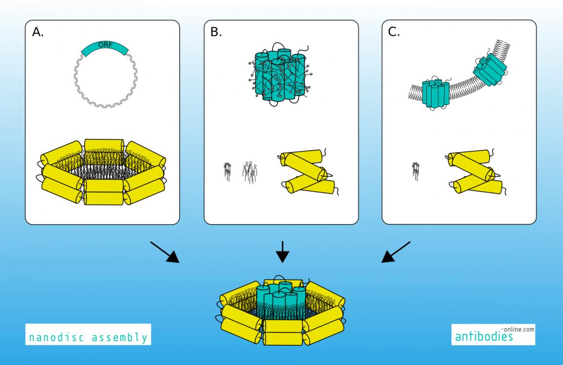 Reconstitution of membrane proteins into nanodiscs.