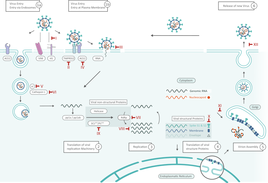 SARS-CoV-2 Life Cycle: Stages and Inhibition Targets