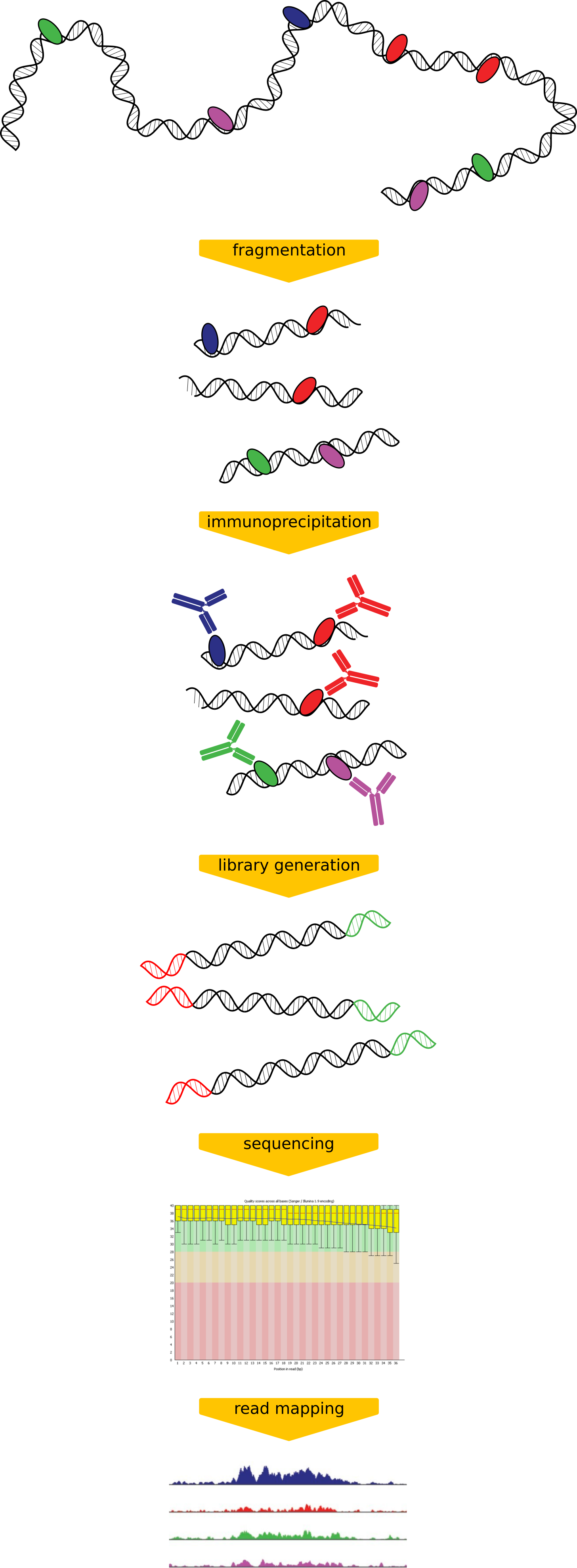 ChIP-seq diagram