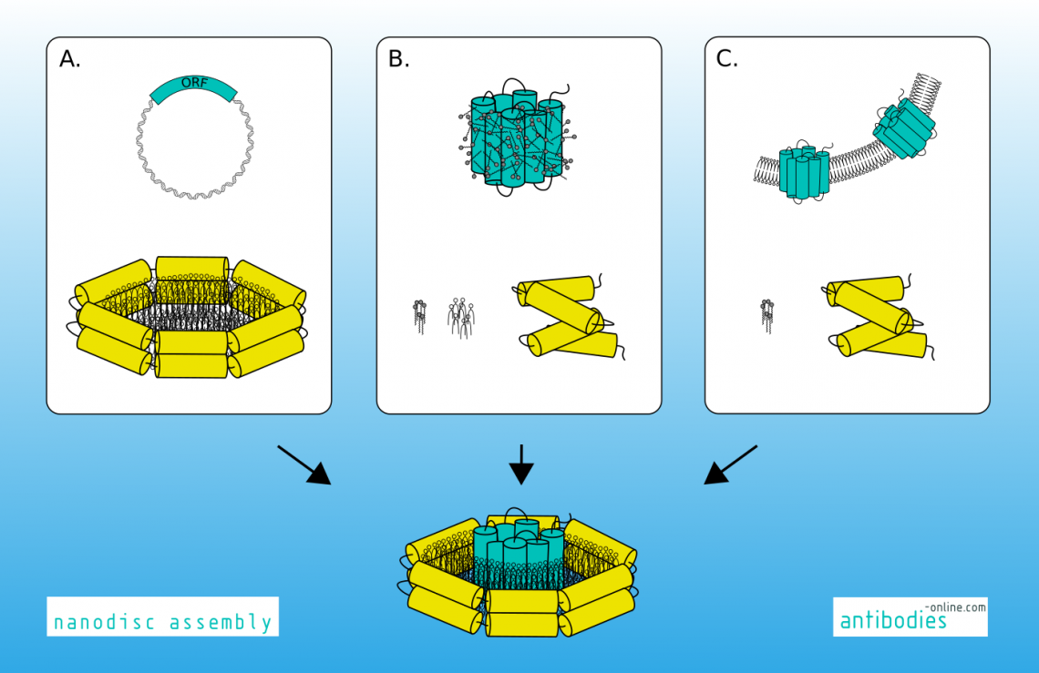 Reconstitution of membrane proteins into nanodiscs.