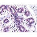 anti-Antigen P97 (Melanoma Associated) Identified By Monoclonal Antibodies 133.2 and 96.5 (MFI2) (N-Term) anticorps
