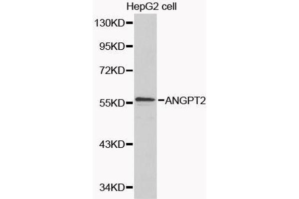 Western blot analysis of extracts of various cell lines, using ANGPT2 antibody.