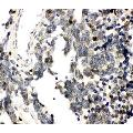anti-RUNX3 Antikörper (Runt-Related Transcription Factor 3) (AA 128-270)