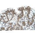 anti-Protein O-Fucosyltransferase 2 (POFUT2) (C-Term) antibody