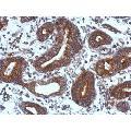 anti-TIE1 anticorps (tyrosine Kinase with Immunoglobulin-Like and EGF-Like Domains 1) (Center)