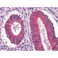 anti-EGF antibody (Epidermal Growth Factor)