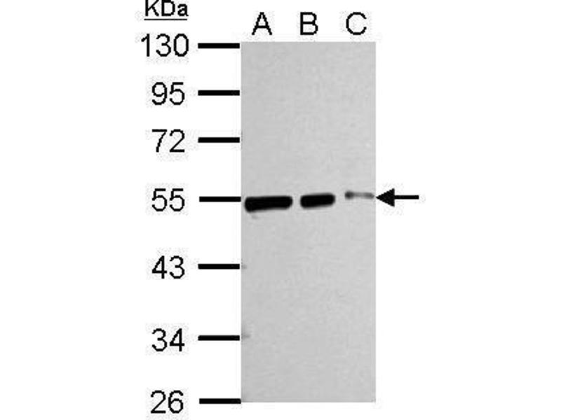 Image no. 8 for anti-Tubulin, beta (TUBB) (Center) antibody (ABIN2854998)