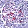 anti-Endonuclease G 抗体 (ENDOG) (AA 55-70)