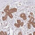 anti-PDAP1 antibody (PDGFA Associated Protein 1)