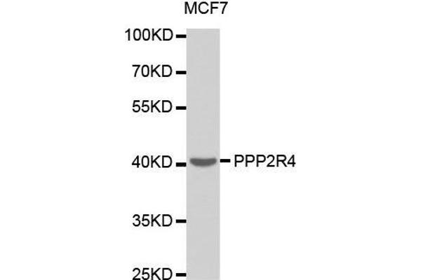 Western blot analysis of extracts of MCF7 cell line, using PPP2R4 antibody.