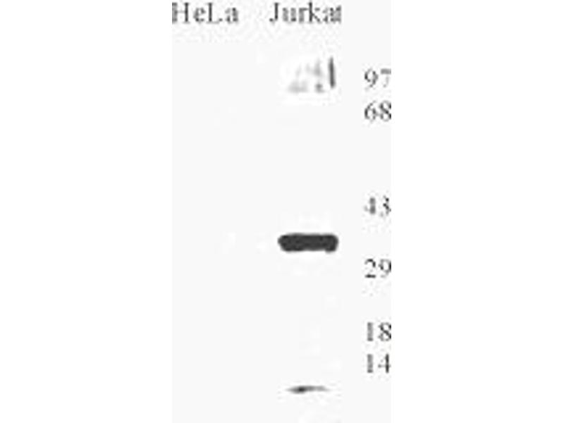 Image no. 1 for anti-8-Oxoguanine DNA Glycosylase (OGG1) antibody (ABIN151034)