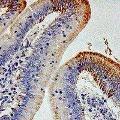 anti-IL12RB1 antibody (Interleukin 12 Receptor beta 1)