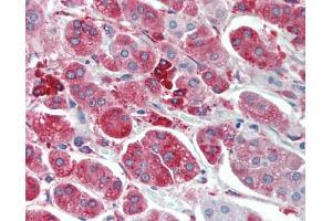 Image no. 1 for anti-Metallothionein 3 (MT3) (AA 1-68) antibody (ABIN1828403)