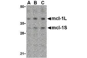 Image no. 1 for anti-Induced Myeloid Leukemia Cell Differentiation Protein Mcl-1 (MCL1) (Center) antibody (ABIN2475516)