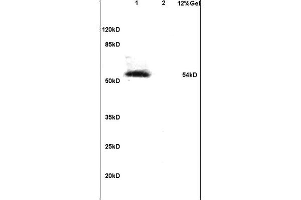 Lane 1: mouse embryo lysates Lane 2: mouse brain lysates probed with Anti Phospho-IRF7 (Ser471/472) Polyclonal Antibody, Unconjugated (ABIN742703) at 1:200 in 4 °C. Followed by conjugation to secondary antibody at 1:3000 90min in 37 °C. Predicted band 54kD. Observed band size: 54kD