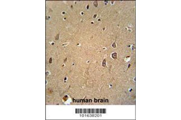 Eph receptor A6 (EPHA6) Antibody (C-term) (ABIN391896) immunohistochemistry analysis in formalin fixed and paraffin embedded human brain tissue followed by peroxidase conjugation of the secondary antibody and DAB staining