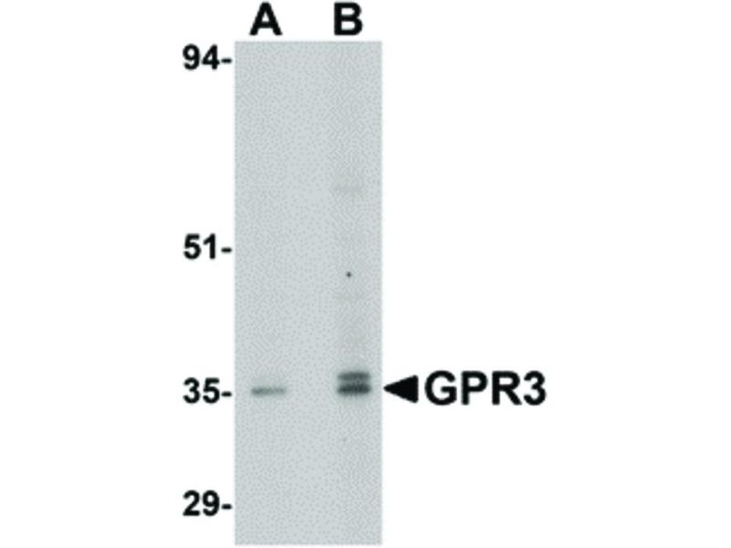Image no. 1 for anti-G Protein-Coupled Receptor 3 (GPR3) (C-Term) antibody (ABIN6656714)