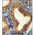 anti-AHCY Antikörper (Adenosylhomocysteinase) (AA 79-110)