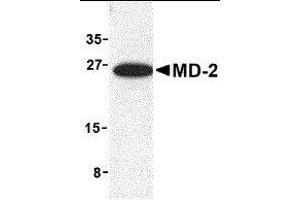 Image no. 1 for anti-Lymphocyte Antigen 96 (LY96) (Middle Region) antibody (ABIN2475543)