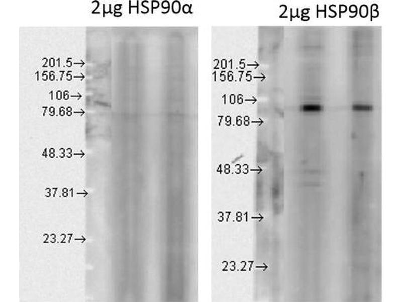 Image no. 2 for anti-Heat Shock Protein 90kDa alpha (Cytosolic), Class B Member 1 (HSP90AB1) antibody (Biotin) (ABIN2486707)