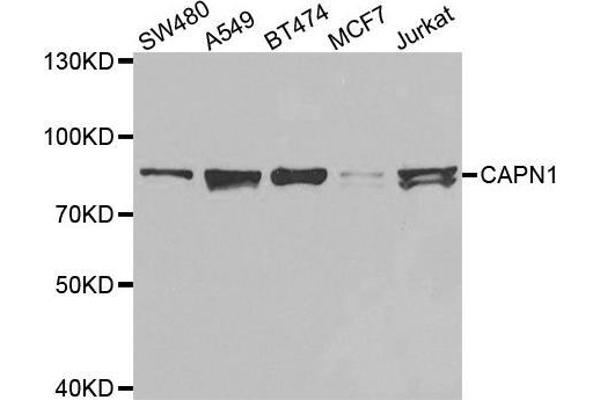 Western blot analysis of extracts of various cell lines, using CAPN1 antibody.