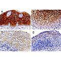 anti-Caspase 14, Apoptosis-Related Cysteine Peptidase (CASP14) Antikörper