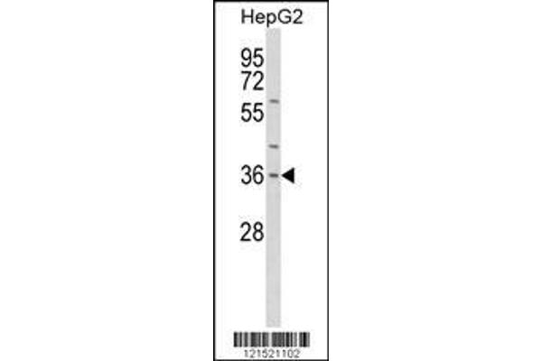 Western blot analysis of IL1A Antibody (Center) (ABIN652257) in HepG2 cell line lysates (35 µg/lane). IL1A (arrow) was detected using the purified polyclonal antibody.