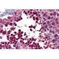 anti-BMPER Antikörper (BMP Binding Endothelial Regulator) (AA 501-550)