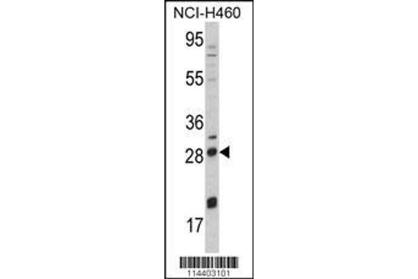 Western blot analysis of NGFB Antibody (Center) (ABIN392194) in NCI-H460 cell line lysates (35 µg/lane). NGFB (arrow) was detected using the purified polyclonal antibody.