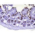 anti-TFF3 Antikörper (Trefoil Factor 3 (Intestinal)) (AA 23-81)