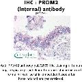 anti-Prominin 2 (PROM2) (Internal Region) Antikörper
