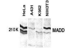 Image no. 1 for anti-MAP-Kinase Activating Death Domain (MADD) (C-Term) antibody (ABIN2475471)