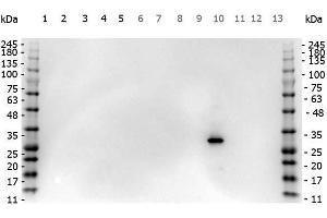 Image no. 2 for anti-Red Fluorescent Protein (RFP) (AA 234) antibody (ABIN129578)