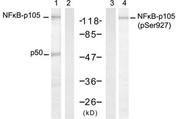 Western blot analysis of extract from HT-29 cells, untreated or treated with TNF-α and Calyculin A, using NFκB-p105/p50 (Ab-927) antibody (E021312, Lane 1 and 2) and NFκB-p105/p50 (Phospho-Ser927) antibody (E011312, Lane 3 and 4).