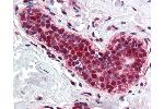 Image no. 1 for anti-Proliferating Cell Nuclear Antigen (PCNA) antibody (ABIN2476087)
