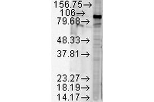 Image no. 5 for anti-Heat Shock Protein 90kDa alpha (Cytosolic), Class B Member 1 (HSP90AB1) antibody (Biotin) (ABIN2486707)