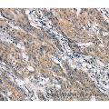 anti-CrkL anticorps (V-Crk Sarcoma Virus CT10 Oncogene Homolog (Avian)-Like)