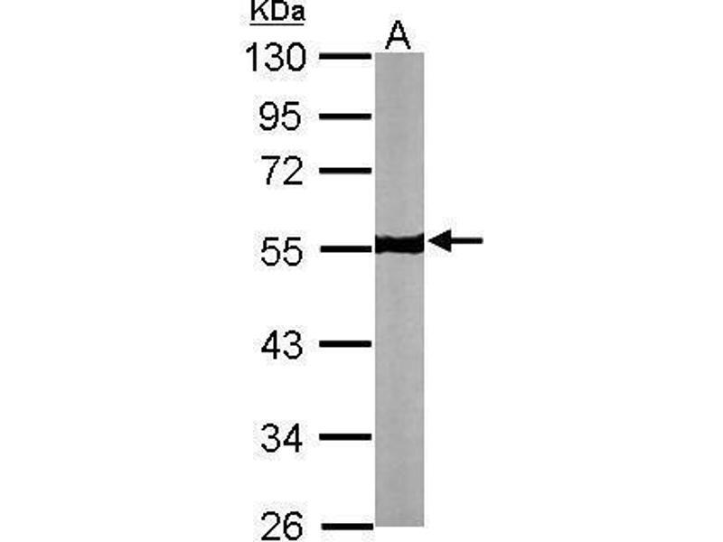 Image no. 3 for anti-Tubulin, beta (TUBB) (Center) antibody (ABIN2854998)