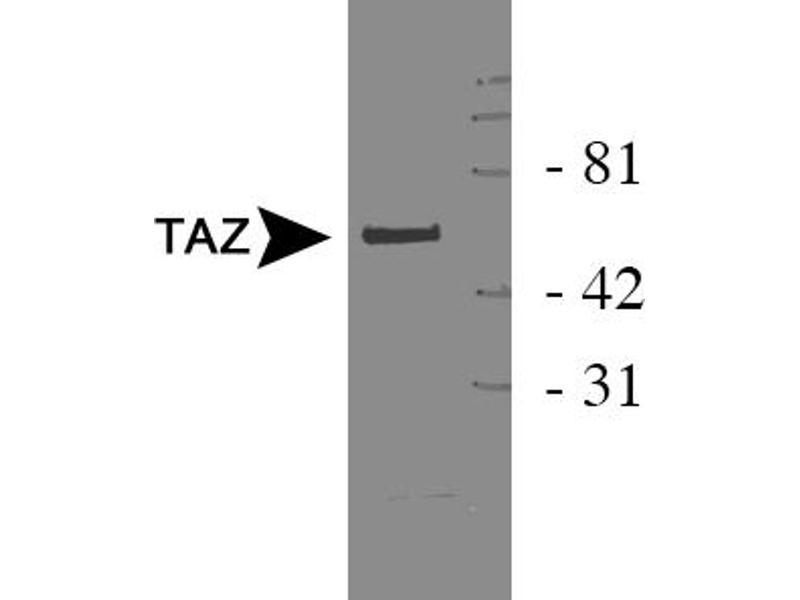 Image no. 1 for anti-WW Domain Containing Transcription Regulator 1 (WWTR1) antibody (ABIN258561)