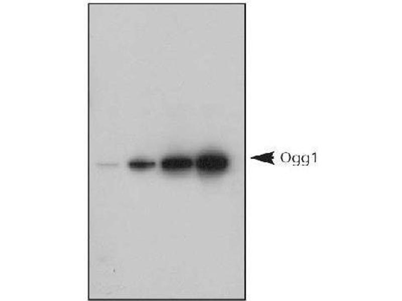 Image no. 3 for anti-8-Oxoguanine DNA Glycosylase (OGG1) antibody (ABIN151034)