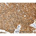 anti-Annexin A9 Antikörper (ANXA9)