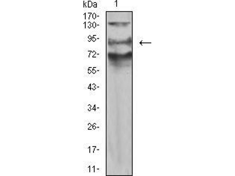 Image no. 4 for anti-Actin Filament Associated Protein 1-Like 2 (AFAP1L2) (AA 674-818) antibody (ABIN5542602)