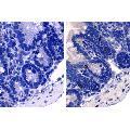 Ratte anti-Maus IgE Antikörper (Biotin)