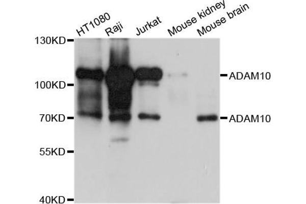 Western blot analysis of extracts of various cell lines, using ADAM10 antibody.