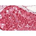 anti-CSTF2 anticorps (Cleavage Stimulation Factor, 3' Pre-RNA, Subunit 2, 64kDa) (N-Term)