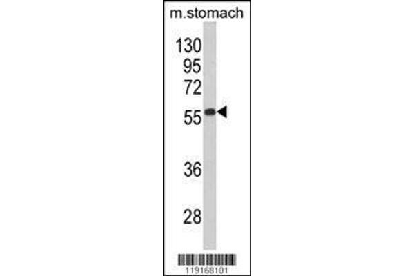 Western blot analysis of Beclin1-BH3 Domain Antibody (ABIN652595) in mouse stomach tissue lysates (35 µg/lane). BECN1 (arrow) was detected using the purified polyclonal antibody.