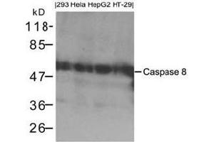 Western blot analysis of extracts from 293, Hela, HepG2 and HT-29 cells using Caspase 8.