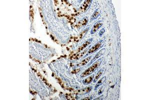 Anti-p107 antibody, IHC(P) IHC(P): Rat Intestine Tissue