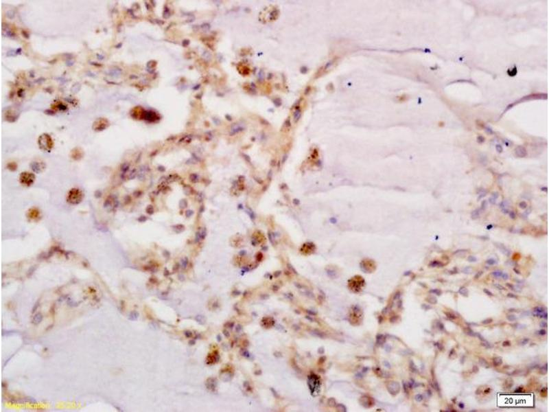 Image no. 1 for anti-Frizzled Family Receptor 7 (FZD7) (AA 550-574) antibody (ABIN710051)