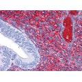 anti-CDH18 antibody (Cadherin 18, Type 2) (AA 467-577)